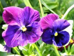 Flowers Violet Flower Wallpaper