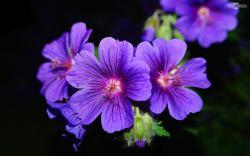 Violet Purple Flower Image