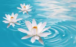 Water Lilies - flowers Wallpaper