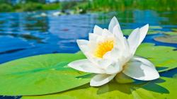 Water Lily Wallpaper Hd Screen