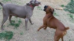 Boxer and Weimaraner