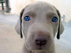 Adorable Round Face Of Weimaraner Puppy Dog Breed