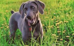 HD Wallpaper | Background ID:334998. 1920x1200 Animal Weimaraner