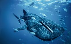 Whale SharkElegant Whale Shark ...