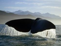 free Sperm Whale wallpaper wallpapers download