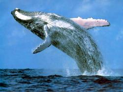 First Humpback Whales sighted in Augusta for .