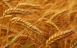Somewhere along the road to advanced civilization, we lost our way…at least we lost our wheat. Some say it just isn't the same–modern wheat is contaminated ...
