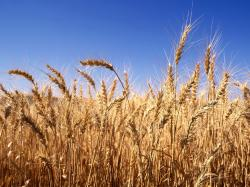 Researchers of TUT breed fungus disease resistant wheat - Research in Estonia