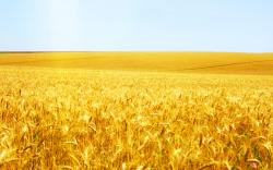 wheat field landscape desktop picture