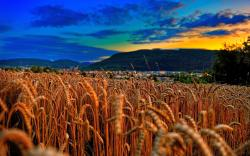 Wheat field evening