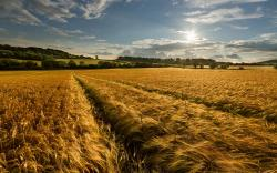 Wheat field late summer