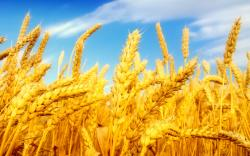 HD wheat crop material 9899