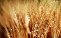 Nature Wheat Plants Close-Up HD Wallpaper