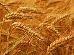 ... Wheat Wallpaper; Wheat Wallpaper