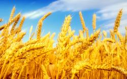 Best Wheat Field Wallpaper Laptop Backgr
