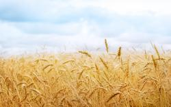 Earth - Wheat Wallpaper