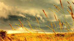 HD Wheat Wallpaper