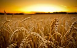 HD Wallpaper   Background ID:382681. 2560x1600 Earth Wheat