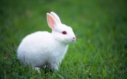 File:White Bunny Wallpaper 1440x900 wallpaperhere.jpg