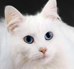 File:WhiteCat.jpg - Wikimedia Commons
