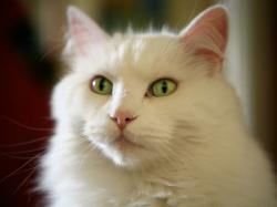 ... White Cat green eyes wallpaper. 4:3
