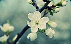 White Cherry Blossom 16348