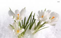 White crocus wallpaper 1680x1050