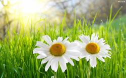 Wallpapers for Gt White Daisies Wallpaper