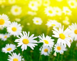 Description: The Wallpaper above is White daisies field Wallpaper in Resolution 1280x1024. Choose your Resolution and Download White daisies field Wallpaper