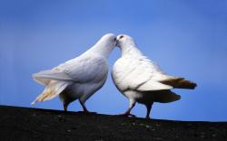 White doves kiss