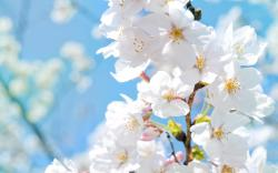 White Flowers Pictures Free Desktop Hd Wallpapers Amagico