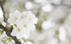 Beautiful White Flowers Normal Wallpapers Hd 1440x900px