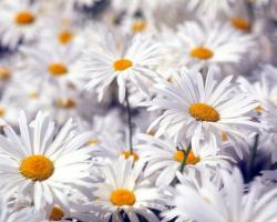 Large White Flowers Wallpapers ...