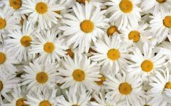 View And Download White Flowers Wallpapers
