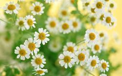Beautiful White Flowers Wallpaper; White Flowers Wallpaper ...