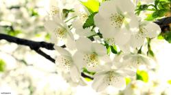 White Flowers Images 40 HD Wallpapers