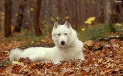 White Husky Wallpaper