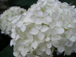 White Hydrangeas Zoom in