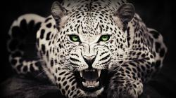 White Leopard HD Wallpaper