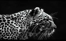 Black and White Leopard Free Wallpaper Desktop 9937 High Resolution