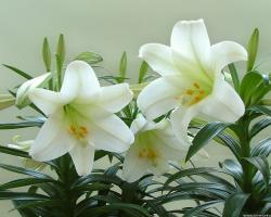 white-lily-in-plant