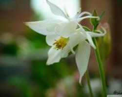 White Lily Flower Wallpaper Hd Desktop Wallpaper