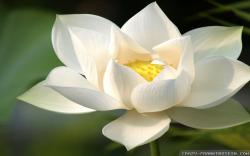 Wallpaper: Cute white lotus flower wallpapers. Resolution: 1024x768 | 1280x1024 | 1600x1200. Widescreen Res: 1440x900 | 1680x1050 | 1920x1200