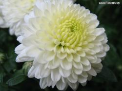 Mulching over your fall mums to a depth of 3-4″ after the soil has frozen will help ensure their return next spring.