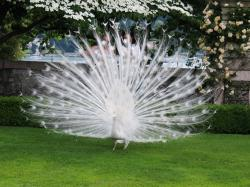 View all the white peacock photos here: