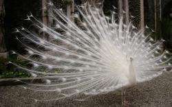 View And Download White Peacock HD Wallpapers ...