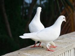 Description: The Wallpaper above is White pigeon doves Wallpaper in Resolution 1920x1440. Choose your Resolution and Download White pigeon doves Wallpaper