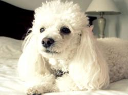 poodle relaxing on bed wallpaper