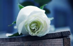 Please check our widescreen hd wallpaper below and bring beauty to your desktop. White Roses Wallpaper