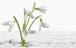Beautiful white snowdrops ***
